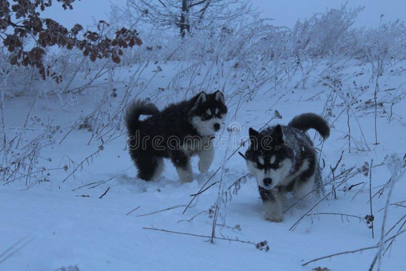 爱斯基摩在多雪的森林里 库存照片