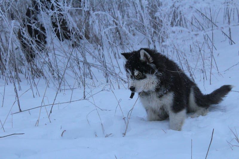爱斯基摩在多雪的森林里 库存图片