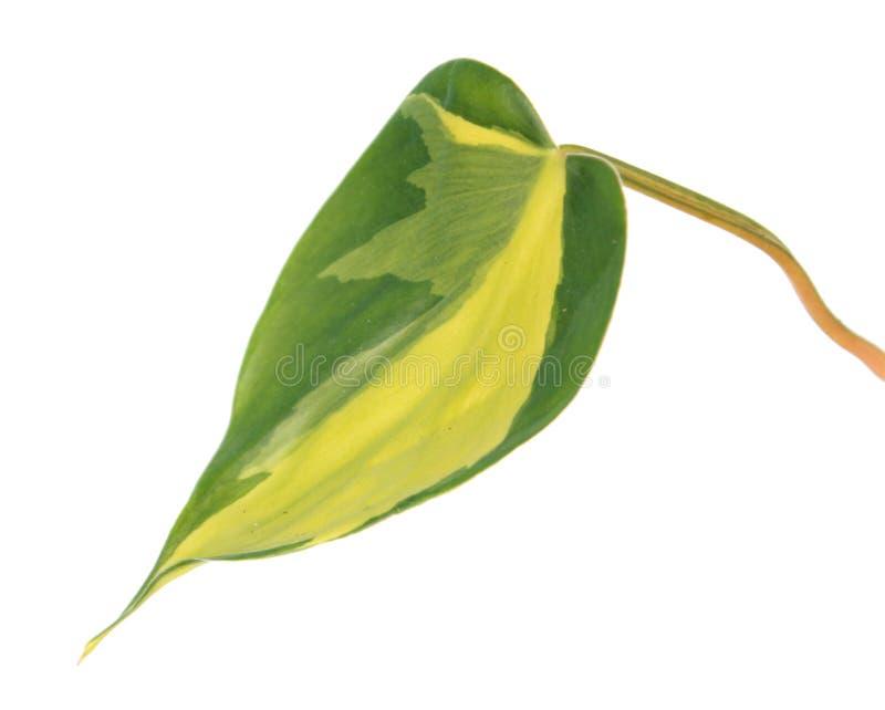 爱树木的人hederaceum var杂色的绿色叶子  r r oxycardium 库存照片