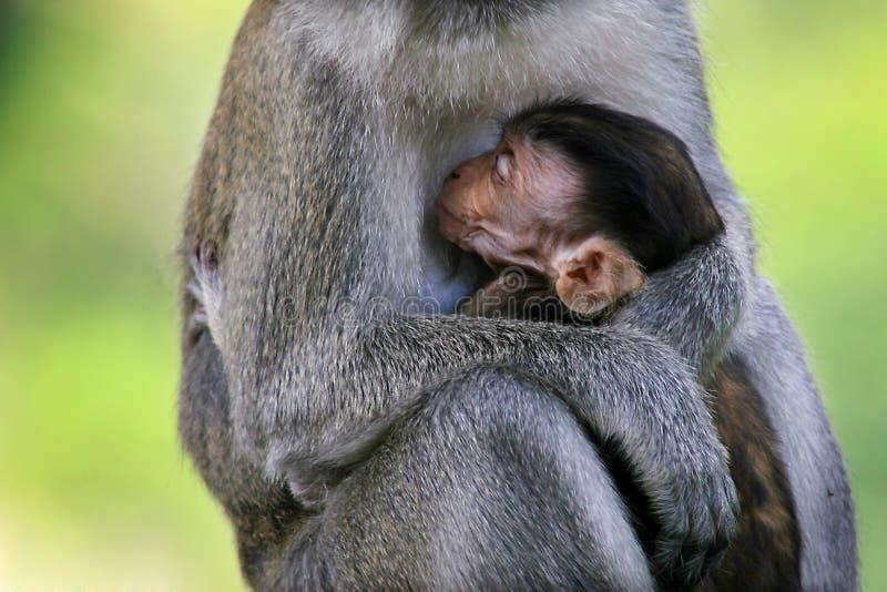 爱温暖在小猴子和母亲之间的 免版税库存图片