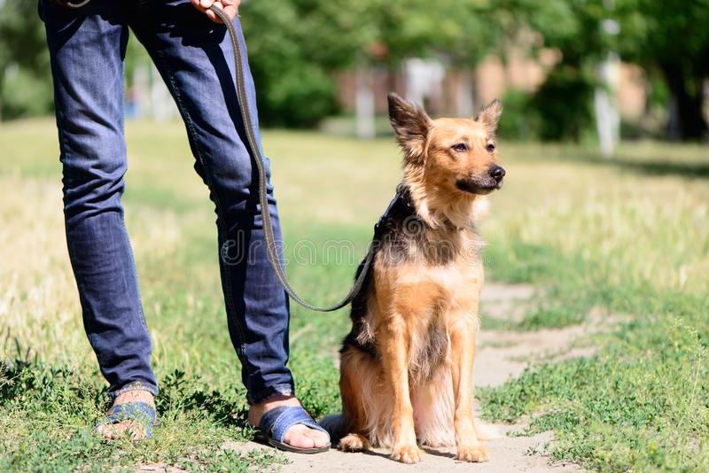 爱犬与人的杂种护羊狗 库存照片