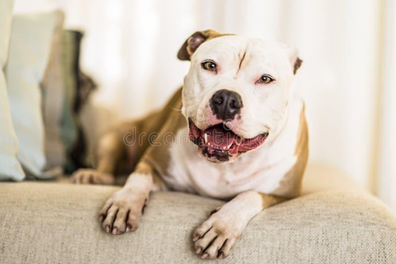 爱犬观看您的罐的美国斯塔福德郡狗到达 免版税图库摄影