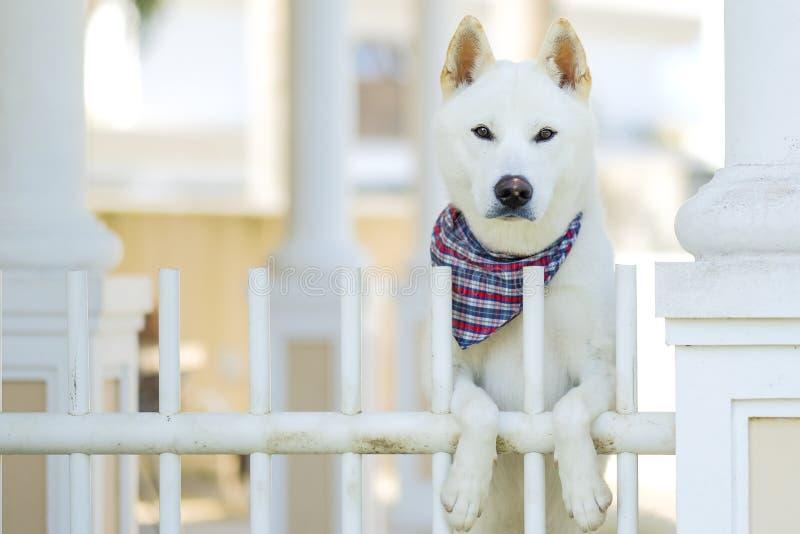 爱犬witing为所有者的秋田在门 免版税图库摄影