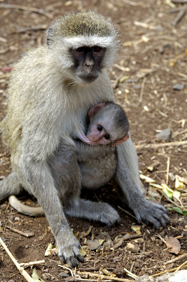 爱猴子 免版税库存照片