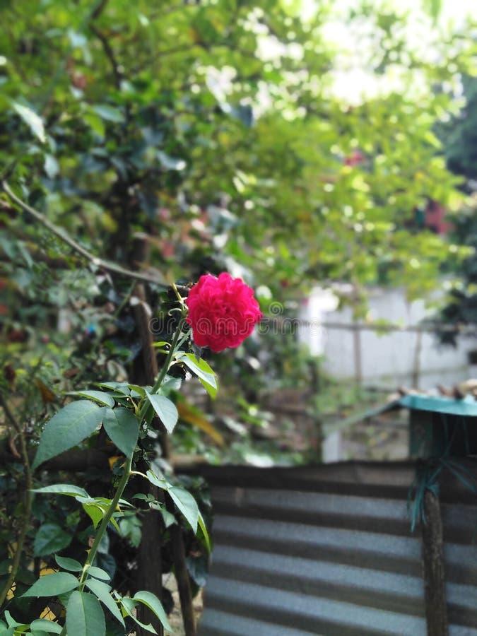 爱的红色玫瑰色标志 库存照片