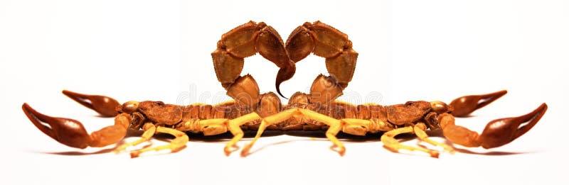爱蝎子 免版税库存图片