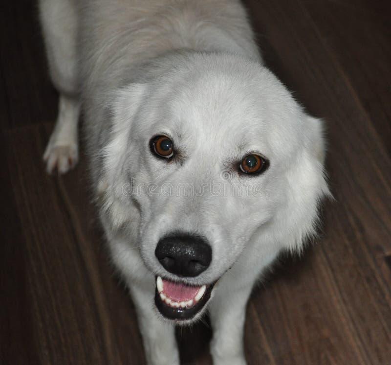 爱说话,一只可采纳的小狗 免版税库存照片