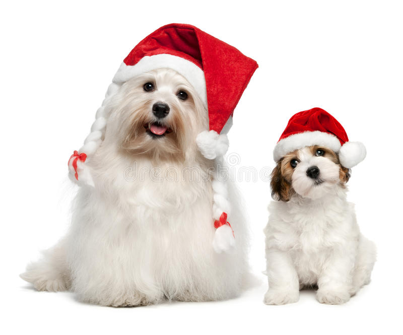 父亲和儿子在圣诞节帽子的Bichon Havanese狗 免版税图库摄影
