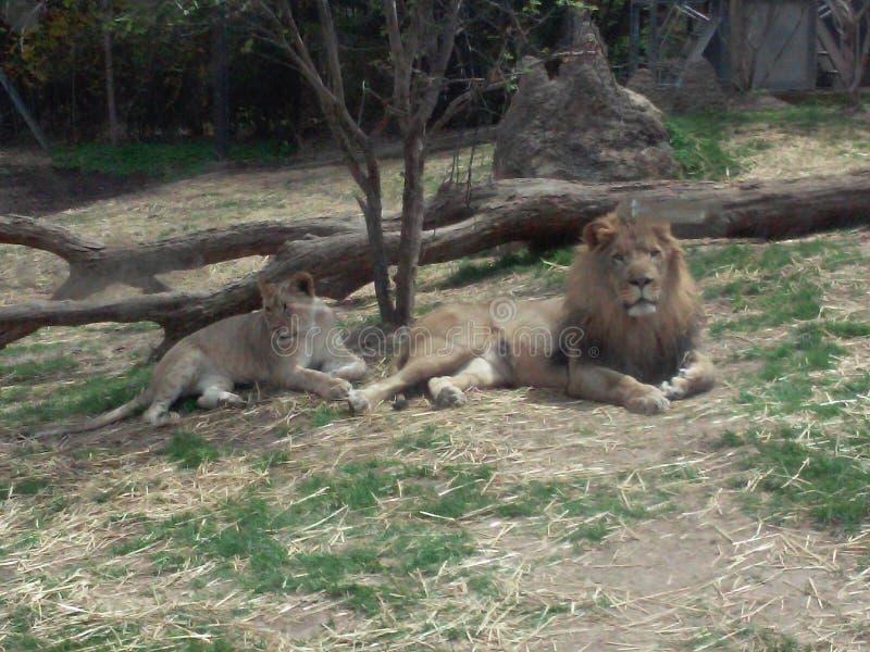 父亲和女儿狮子 免版税库存照片