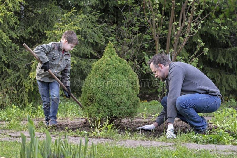 父子在园中种下幼树,用耙子把地平整 库存照片