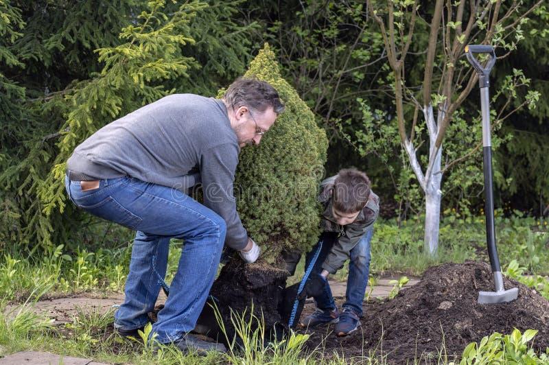 父子在花园里种小树 概念家庭工作、爱好、种苗 库存照片