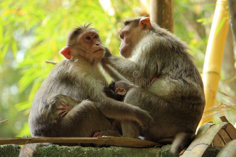 父母和儿童猴子坐墙壁 免版税库存图片