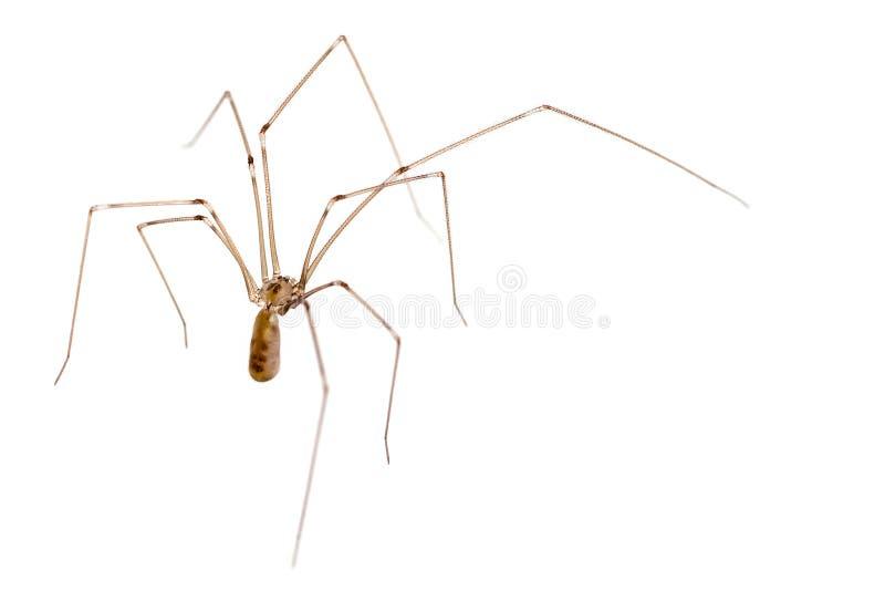 爸爸行程长的蜘蛛 免版税图库摄影