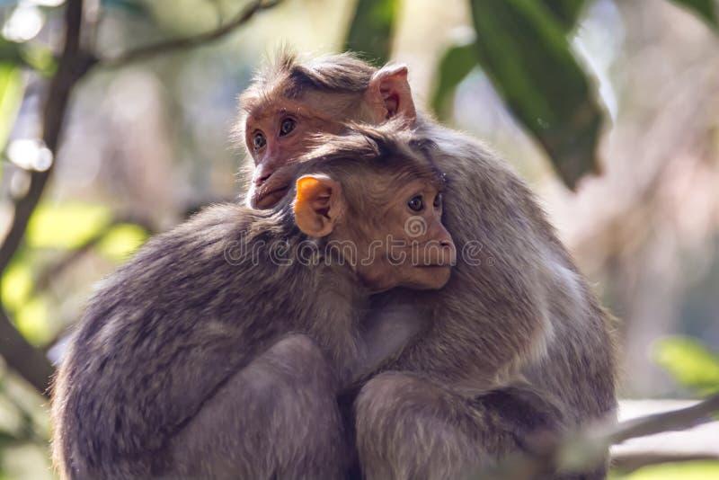 片刻:帽子短尾猿在阳光和树荫-猕猴属radiata下 免版税库存图片
