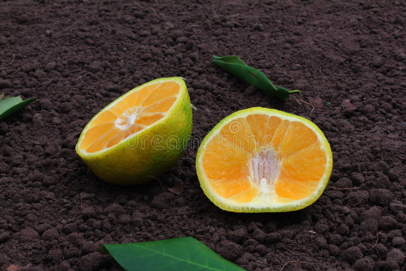 牙买加丑橘 图库摄影