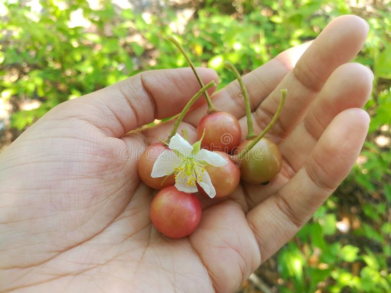 牙买加樱桃和它的花 免版税库存照片