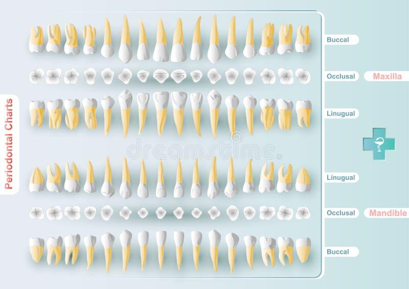 牙齿和牙周绘制 皇族释放例证