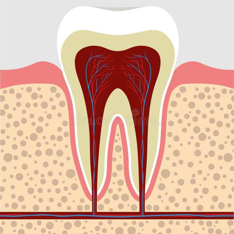 牙,胶在横断面 牙根cana 皇族释放例证
