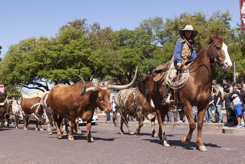 牛和牛仔沃思堡 免版税库存图片