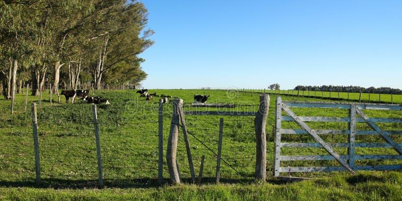 牛在小牧场, 图库摄影