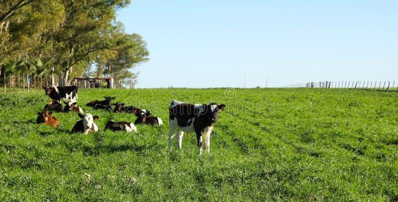 牛在小牧场, 免版税库存照片