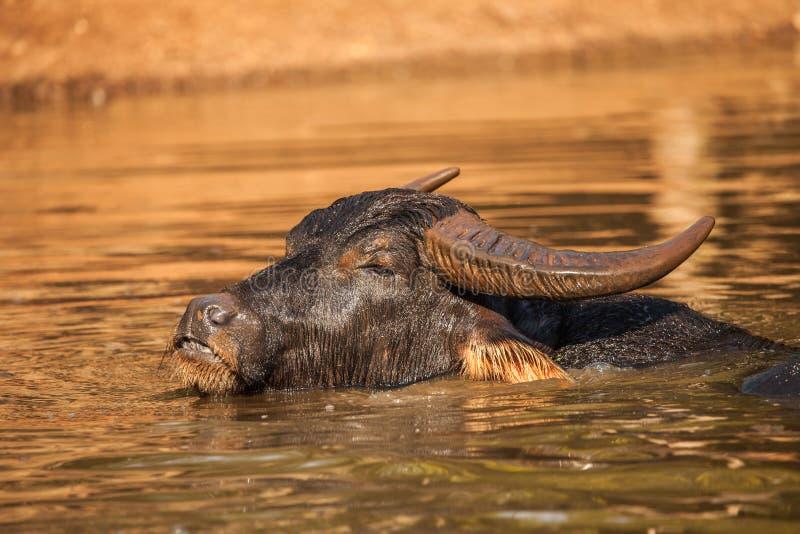 水牛在老虎寺庙,泰国的水中 免版税库存照片
