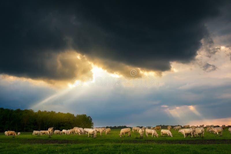 牛在风雨如磐的牧场地 库存照片