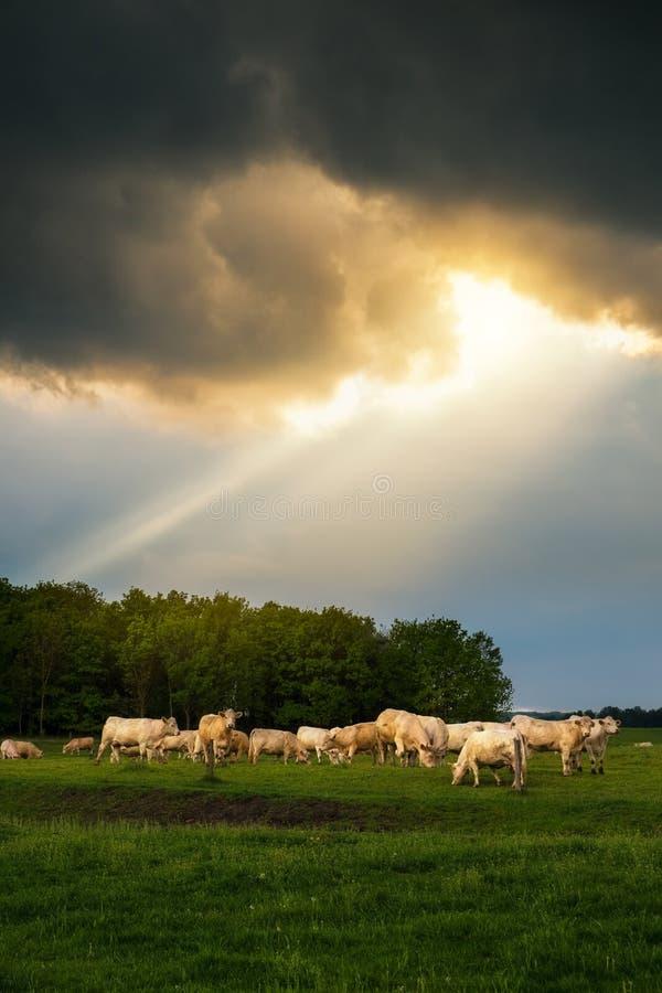 牛在风雨如磐的牧场地 图库摄影