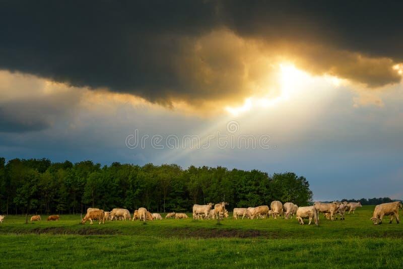 牛在风雨如磐的牧场地 免版税图库摄影