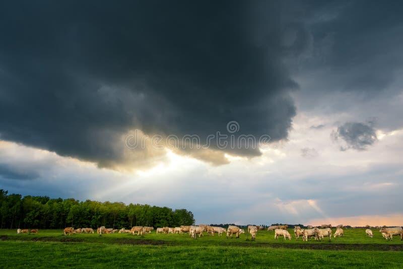 牛在风雨如磐的牧场地 免版税库存图片