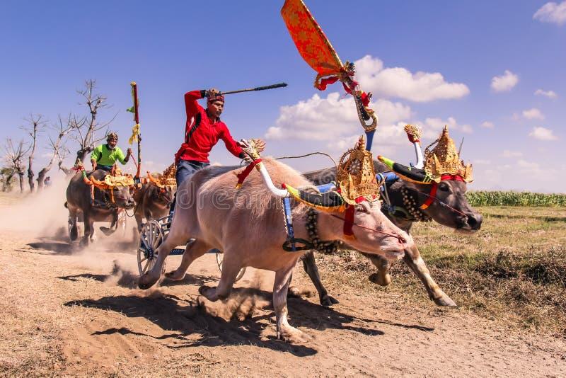 水牛城种族Makepung在巴厘岛Negara Jembrana 免版税图库摄影