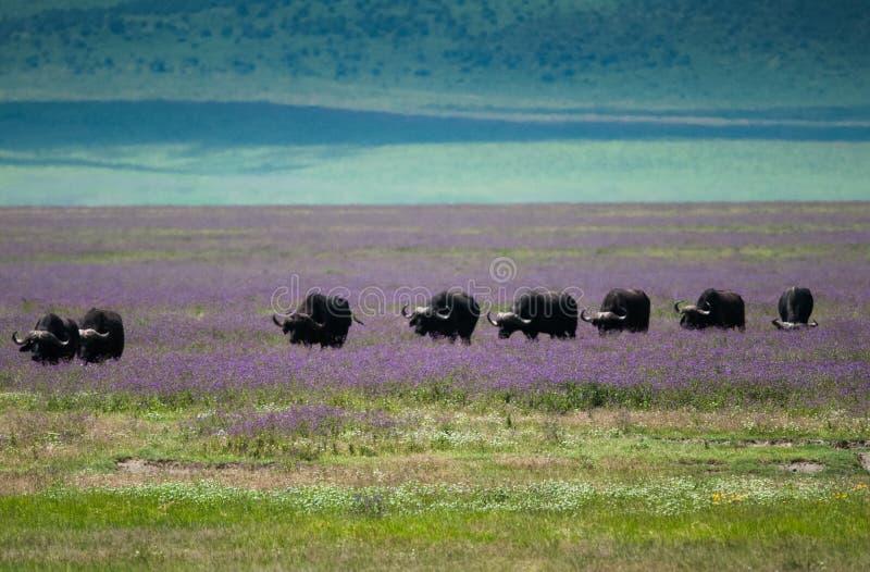 水牛城迁移Ngorongoro火山口,坦桑尼亚 库存图片