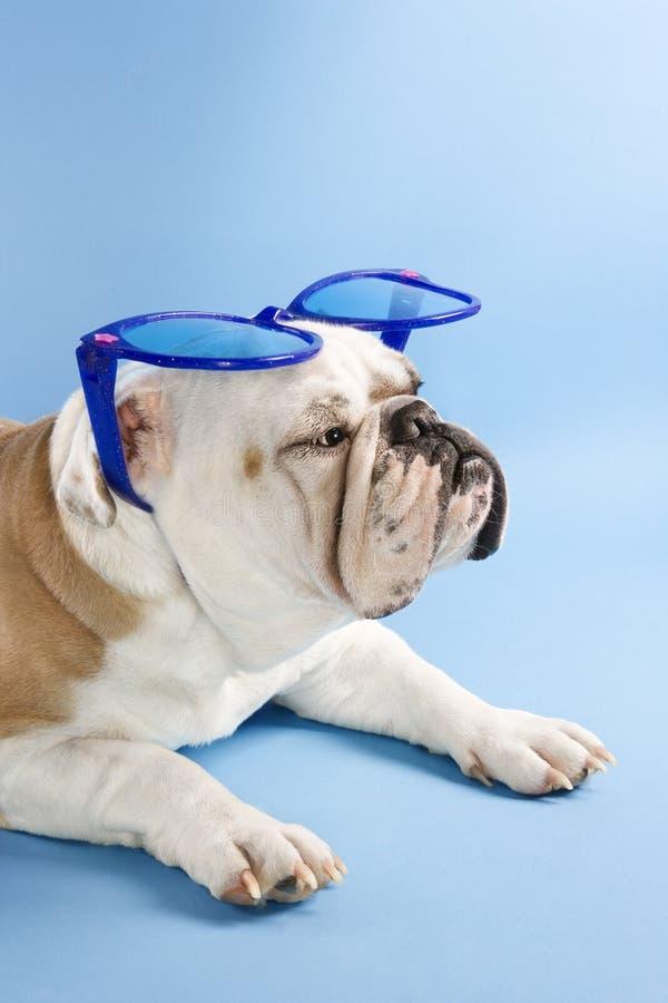 牛头犬太阳镜佩带 免版税库存图片
