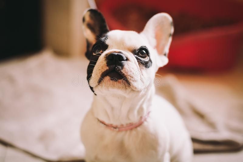牛头犬小狗使用与他的所有者 免版税库存照片