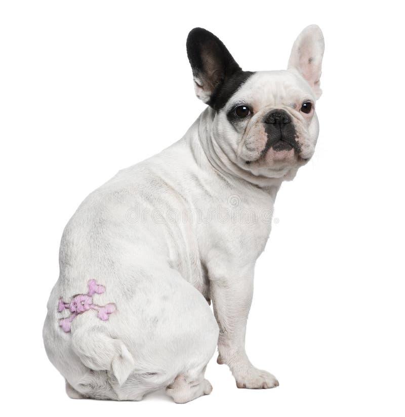 牛头犬法国坐的纹身花刺 免版税库存照片