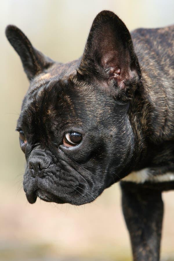 牛头犬法语查阅 库存照片