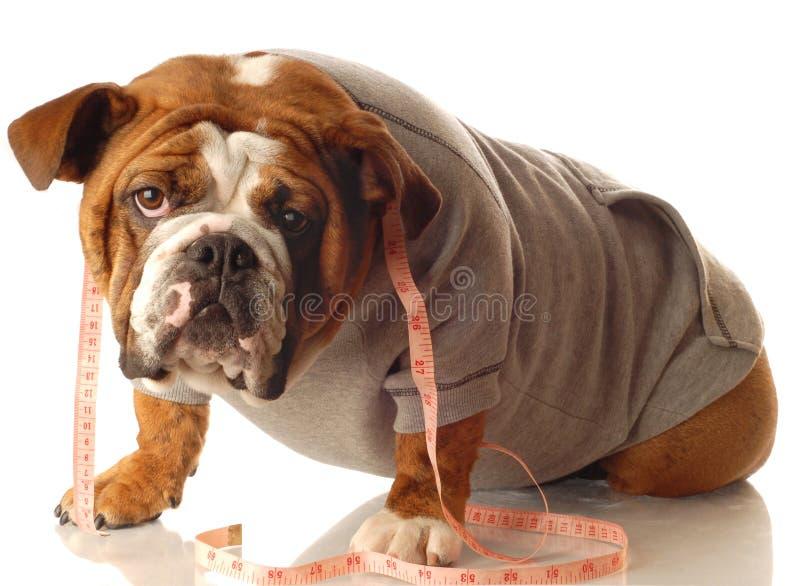 牛头犬英语锻炼 免版税图库摄影