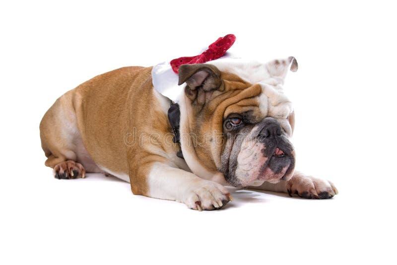 牛头犬英语 免版税库存图片