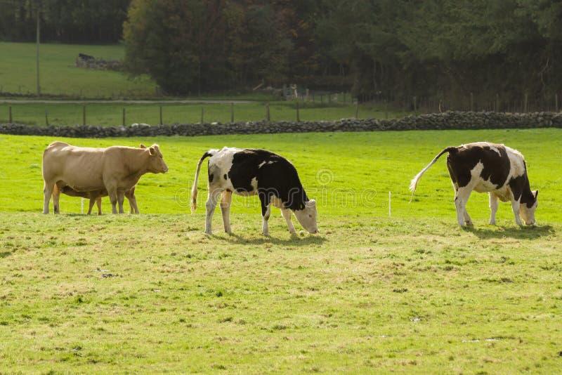 牛奶场和菜牛 图库摄影