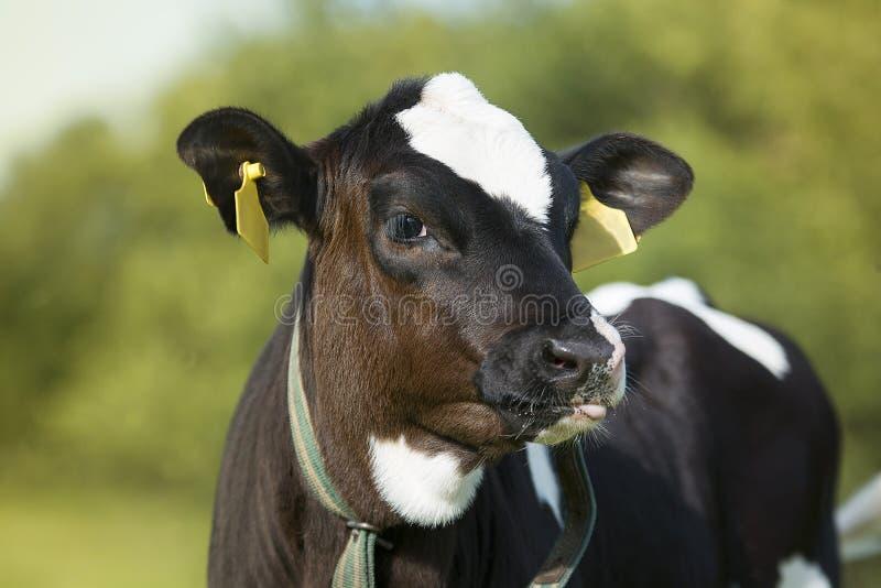 牛奶店小牛 库存图片