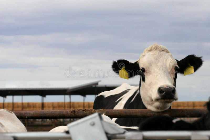 牛奶店小牝牛黑白花牛 库存照片