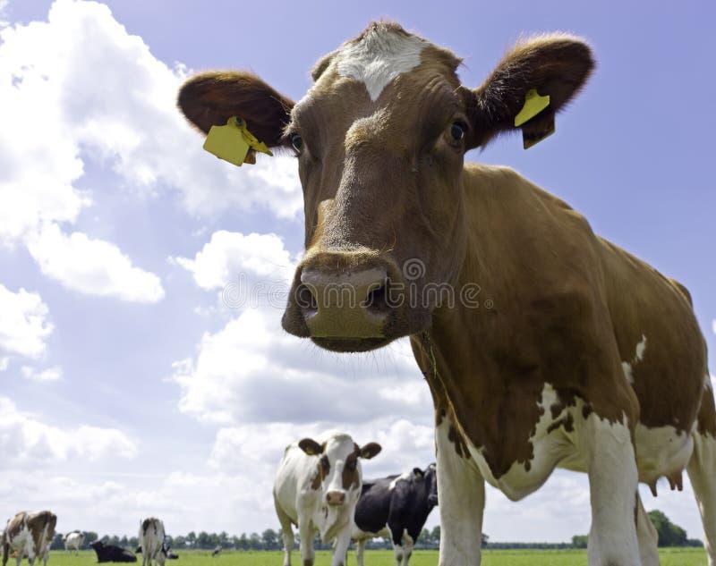 牛奶店霍尔斯坦母牛 免版税库存图片