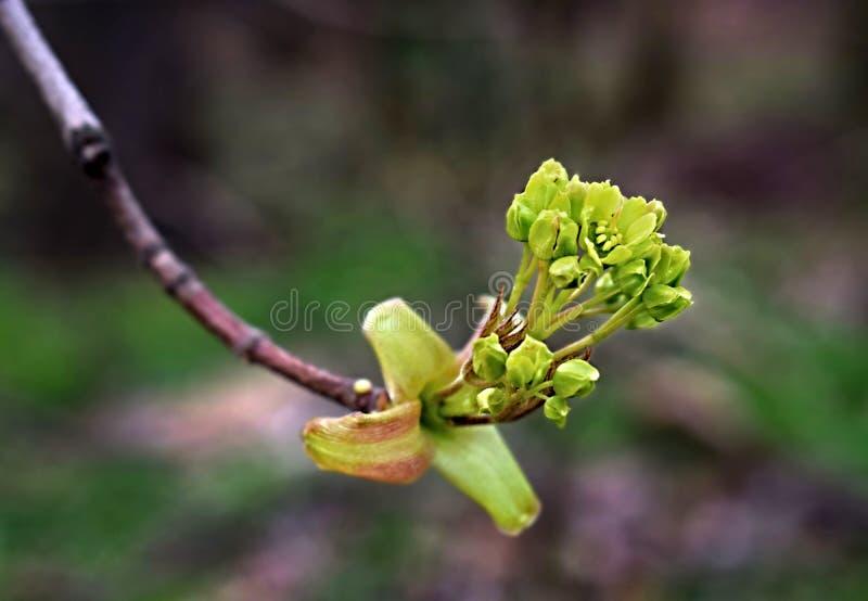 牛奶槭树 它增长到对高度30 m,在1 m上的厚度 库存图片
