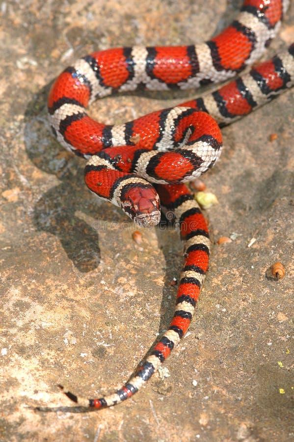 牛奶红色蛇年轻人 免版税图库摄影