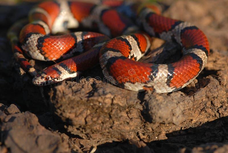 牛奶红色蛇 免版税图库摄影