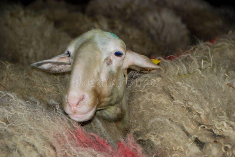 牛奶绵羊在槽枥 库存照片