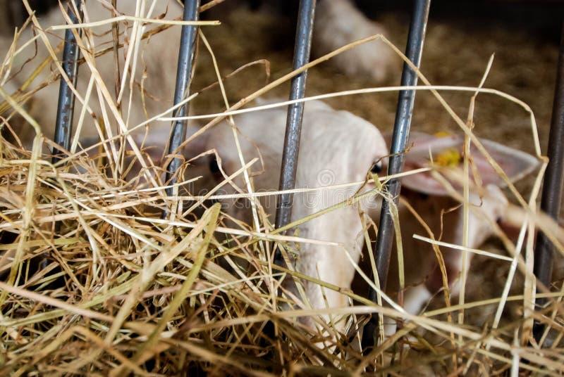 牛奶绵羊在槽枥 免版税图库摄影