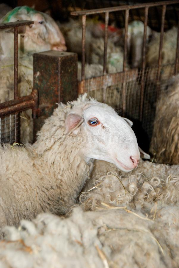 牛奶绵羊在槽枥 图库摄影