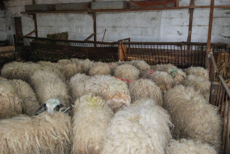 牛奶绵羊在槽枥 免版税库存图片
