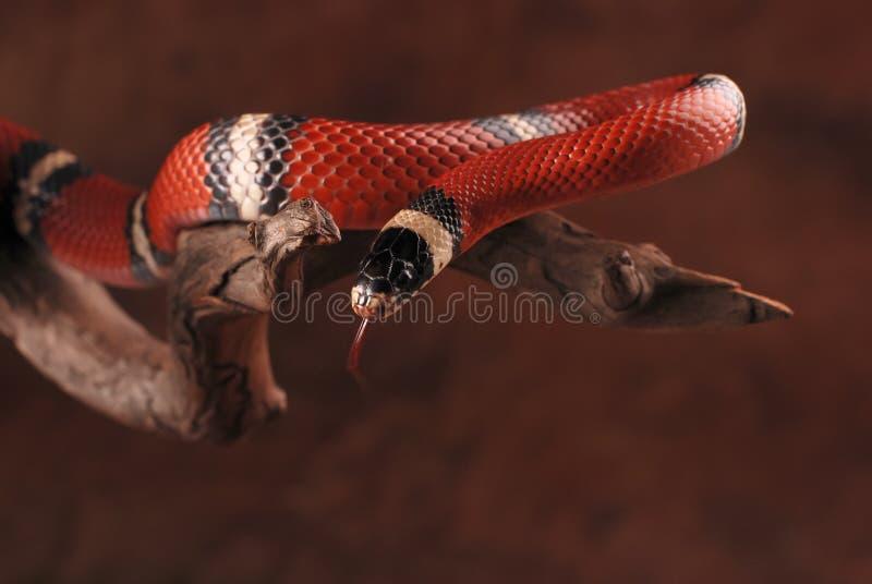 牛奶蛇和它的舌头 库存照片